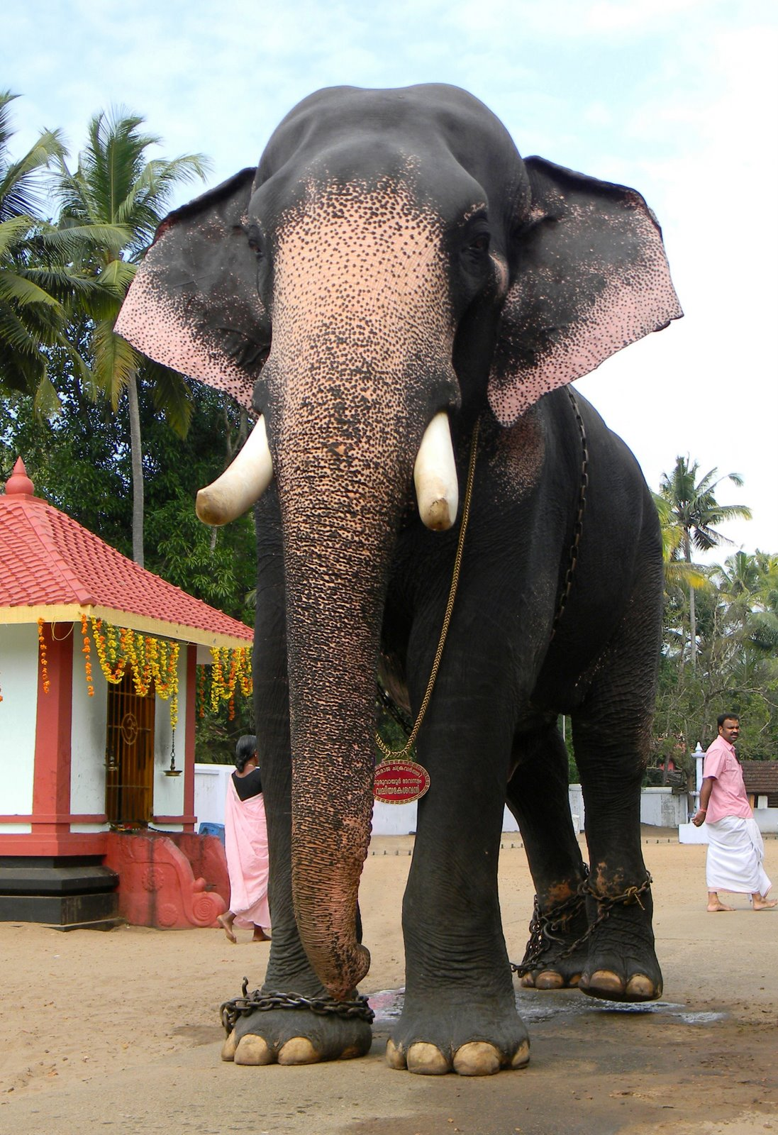 Guruvayoor valiayakeshavan | Elephants in Kerala | Digital ...
